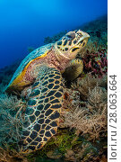 Купить «Hawksbill sea turtle (Eretmochelys imbricata) resting on a coral reef. Rock Islands, Palau, Mirconesia. Tropical west Pacific Ocean», фото № 28063664, снято 31 мая 2020 г. (c) Nature Picture Library / Фотобанк Лори