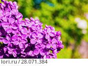 Купить «Сирень в весеннем саду», фото № 28071384, снято 15 июня 2017 г. (c) Зезелина Марина / Фотобанк Лори