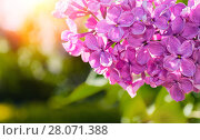 Купить «Цветущая розовая сирень. Весенний солнечный цветочный пейзаж», фото № 28071388, снято 15 июня 2017 г. (c) Зезелина Марина / Фотобанк Лори