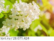 Купить «Белая сирень, цветущая в саду», фото № 28071424, снято 15 июня 2017 г. (c) Зезелина Марина / Фотобанк Лори