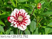 Купить «Красно-белый георгин (лат. Dаhlia) цветет в саду», фото № 28072792, снято 19 июля 2017 г. (c) Елена Коромыслова / Фотобанк Лори