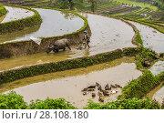 Купить «Farmer and water buffalo working in the rice terraces of the Muong Hoa Valley near Sapa. northern Vietnam.», фото № 28108180, снято 24 апреля 2017 г. (c) age Fotostock / Фотобанк Лори
