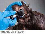 Купить «Осмотр уха собаки с отоскопом», фото № 28112244, снято 8 января 2018 г. (c) Павел Родимов / Фотобанк Лори