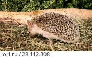 Купить «Little African hedgehog looking for food in the grass», видеоролик № 28112308, снято 2 апреля 2017 г. (c) Алексей Кузнецов / Фотобанк Лори