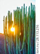 Купить «Canary Island spurge», фото № 28113216, снято 6 декабря 2017 г. (c) Роман Сигаев / Фотобанк Лори