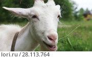 Купить «Close up of white nanny goat in countryside», видеоролик № 28113764, снято 18 июля 2013 г. (c) Алексей Кузнецов / Фотобанк Лори