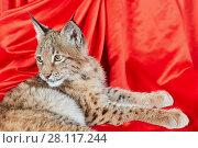 Купить «Lynx cub lies on red cloth», фото № 28117244, снято 14 ноября 2015 г. (c) Losevsky Pavel / Фотобанк Лори