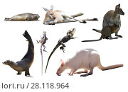 Купить «australian animals isolated», фото № 28118964, снято 17 августа 2018 г. (c) Яков Филимонов / Фотобанк Лори