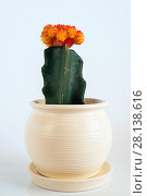 Купить «Grafted Cactus in white pot on white background.», фото № 28138616, снято 27 февраля 2018 г. (c) Володина Ольга / Фотобанк Лори