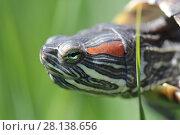 Купить «Черепаха в траве», фото № 28138656, снято 24 мая 2017 г. (c) Яна Королёва / Фотобанк Лори