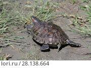 Купить «Черепаха ползет по земле, вид сзади», фото № 28138664, снято 24 мая 2017 г. (c) Яна Королёва / Фотобанк Лори