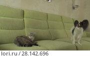 Купить «Dog Papillon mischievously looks at cat Thai stock footage video», видеоролик № 28142696, снято 13 февраля 2018 г. (c) Юлия Машкова / Фотобанк Лори