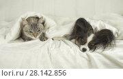Купить «Cat and dog lie under blanket on the bed stock footage video», видеоролик № 28142856, снято 1 марта 2018 г. (c) Юлия Машкова / Фотобанк Лори