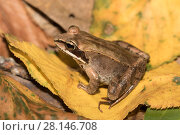 Купить «Wood Frog (Lithobates sylvaticus) on autumn leaves, Connecticut, USA, September.», фото № 28146708, снято 21 октября 2018 г. (c) Nature Picture Library / Фотобанк Лори