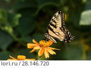 Купить «Eastern Tiger Swallowtail Butterfly (Papilio glaucus) nectaring on Zinnia in farm garden,  Connecticut, USA», фото № 28146720, снято 13 декабря 2018 г. (c) Nature Picture Library / Фотобанк Лори