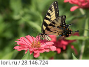 Купить «Eastern Tiger Swallowtail Butterfly (Papilio glaucus) nectaring on Zinnia flower in farm garden,  Connecticut, USA.», фото № 28146724, снято 12 декабря 2018 г. (c) Nature Picture Library / Фотобанк Лори