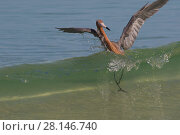 Купить «Reddish egret (Egretta rufescens) caught by a breaking wave while chasing small fish, in characteristic open-swing stance. Mullet Key, Tampa Bay, St. Petersburg, Florida, USA.», фото № 28146740, снято 22 октября 2018 г. (c) Nature Picture Library / Фотобанк Лори