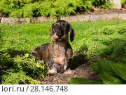 Купить «Standard wire-haired dachshund in spring garden, USA.», фото № 28146748, снято 25 мая 2018 г. (c) Nature Picture Library / Фотобанк Лори