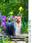 Купить «Yorkshire terrier dog with long hair in show condition, standing in garden, USA.», фото № 28146756, снято 23 июля 2018 г. (c) Nature Picture Library / Фотобанк Лори
