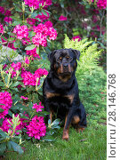 Rottweiler dog sitting beside Rhododendron, Connecticut, USA. Стоковое фото, фотограф Lynn M. Stone / Nature Picture Library / Фотобанк Лори