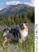 Купить «Rough Collie bitch standing among Blue Vetch, Alaska, USA.», фото № 28146776, снято 16 октября 2018 г. (c) Nature Picture Library / Фотобанк Лори