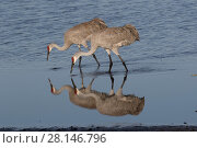 Купить «Florida sandhill cranes (Grus canadensis pratensis) foraging in shallow water at lake edge, Sarasota, Florida, USA», фото № 28146796, снято 25 апреля 2019 г. (c) Nature Picture Library / Фотобанк Лори