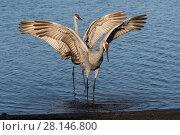 Купить «Florida sandhill cranes (Grus canadensis pratensis) displaying in  characteristic dance as part of courtship, Sarasota, Florida, USA (non-ex)», фото № 28146800, снято 17 июля 2018 г. (c) Nature Picture Library / Фотобанк Лори