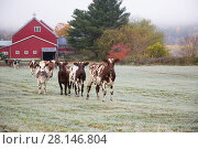 Купить «Herd of Ayrshire cows in a frosty field, October. Newbury, Vermont, USA (non-ex)», фото № 28146804, снято 27 мая 2019 г. (c) Nature Picture Library / Фотобанк Лори