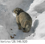 Купить «Manul cat (Felis cat) walks among snowdrifts», фото № 28146920, снято 9 марта 2018 г. (c) Валерия Попова / Фотобанк Лори