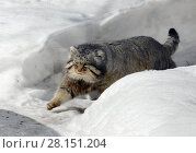 Купить «Manul cat (Felis cat) in winter», фото № 28151204, снято 9 марта 2018 г. (c) Валерия Попова / Фотобанк Лори