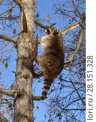 Купить «Енот (Procyon lotor) карабкается на дерево», фото № 28151328, снято 9 марта 2018 г. (c) Валерия Попова / Фотобанк Лори