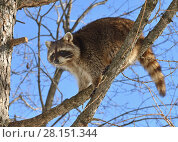 Купить «Raccoon (Procyon lotor) sits on branch of larch», фото № 28151344, снято 9 марта 2018 г. (c) Валерия Попова / Фотобанк Лори