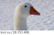 Купить «Portrait of a white domestic goose on winter background, close-up», видеоролик № 28151408, снято 8 марта 2018 г. (c) Алексей Кузнецов / Фотобанк Лори
