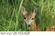 Купить «Portrait of wild roe deer lying in the green grass on a sunny summer day», видеоролик № 28153028, снято 5 июля 2016 г. (c) Алексей Кузнецов / Фотобанк Лори