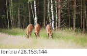 Купить «A herd of dappled deer grazing on the edge of the forest early in the morning», видеоролик № 28153144, снято 12 июля 2016 г. (c) Алексей Кузнецов / Фотобанк Лори