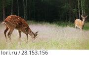 Купить «A herd of spotted deer grazing in the woods early in the morning», видеоролик № 28153156, снято 12 июля 2016 г. (c) Алексей Кузнецов / Фотобанк Лори
