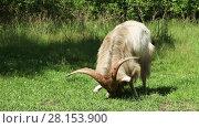 Купить «Big horned goat grazing in a green lawn in the forest on a sunny summer day», видеоролик № 28153900, снято 7 июля 2016 г. (c) Алексей Кузнецов / Фотобанк Лори
