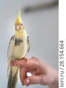 man holds a hand-held parrot chicken. Стоковое фото, фотограф Типляшина Евгения / Фотобанк Лори