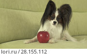 Купить «Beautiful young male dog Papillon with red apple on the couch», фото № 28155112, снято 25 июня 2018 г. (c) Юлия Машкова / Фотобанк Лори