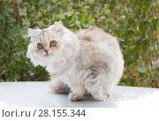 Персидская кошка — порода длинношёрстных кошек. Стоковое фото, фотограф Олег Хархан / Фотобанк Лори