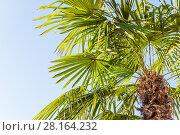 Купить «Верхушка пальмы Сабаль (Sabal) на фоне голубого неба», фото № 28164232, снято 26 сентября 2015 г. (c) Алёшина Оксана / Фотобанк Лори