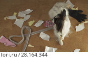 Купить «Dog Papillon arranged a pogrom in house scattered things and tore the paper», фото № 28164344, снято 16 января 2019 г. (c) Юлия Машкова / Фотобанк Лори