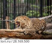 Купить «Озлобленный ягуар с оскаленной пастью на дереве в зоопарке», фото № 28169500, снято 14 июля 2011 г. (c) Наталья Волкова / Фотобанк Лори