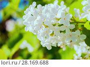 Купить «Весенний пейзаж, цветущая белая сирень в саду», фото № 28169688, снято 15 июня 2017 г. (c) Зезелина Марина / Фотобанк Лори