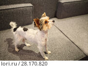 Купить «Sheared Yorkshire terrier with a raised muzzle standing on couch», фото № 28170820, снято 8 мая 2016 г. (c) Losevsky Pavel / Фотобанк Лори