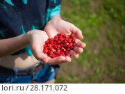 Купить «Girl wet hands with red wild strawberry outdoor under rain, close up», фото № 28171072, снято 2 июля 2016 г. (c) Losevsky Pavel / Фотобанк Лори