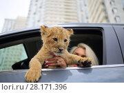 Купить «Blonde holds lion cub and sits on driver place in car, focus on animal», фото № 28171396, снято 13 июля 2016 г. (c) Losevsky Pavel / Фотобанк Лори