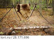 Купить «Animal skins drying on wooden stakes in Chukchi camp in autumn forest», фото № 28171696, снято 18 октября 2015 г. (c) Losevsky Pavel / Фотобанк Лори