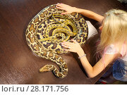Купить «Pretty woman touches two snakes on wooden table indoor, top view», фото № 28171756, снято 18 июля 2016 г. (c) Losevsky Pavel / Фотобанк Лори