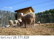 Купить «A flock of sheep on farm with pond and wooden stall», фото № 28171828, снято 4 июля 2015 г. (c) Losevsky Pavel / Фотобанк Лори